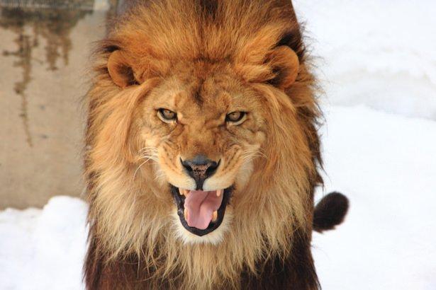元祖百獣の王ライオン