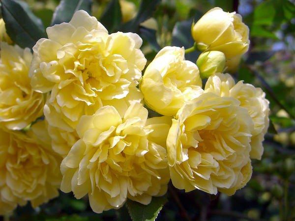 木香(もっこう)のバラ